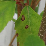Leaf spot on trees