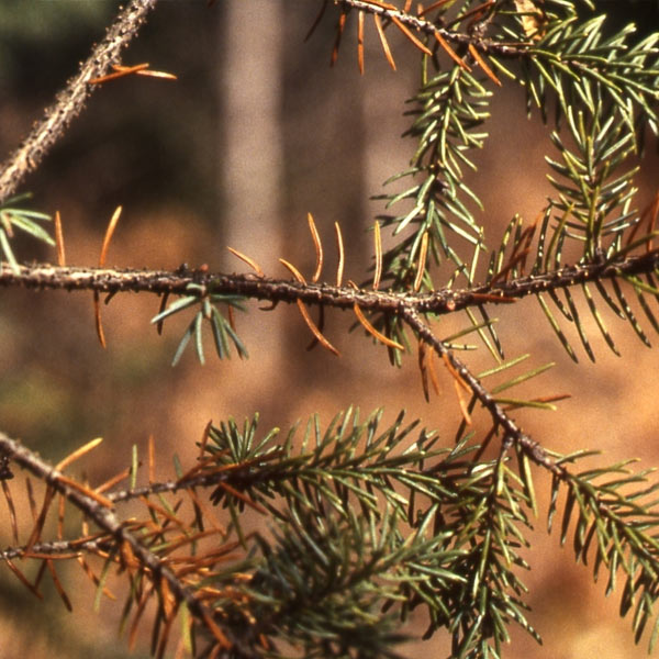 Fungus activity on conifer