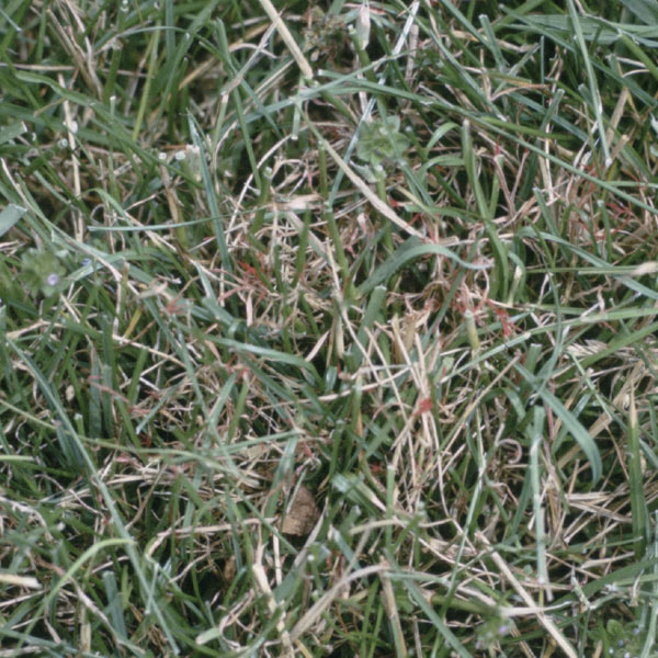 Red Thread Disease on Turf