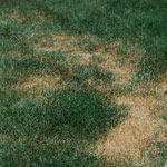 Necrotic ring spot in turf