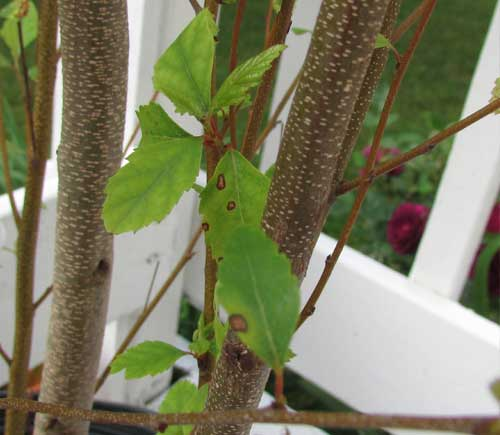 Leaf spot disease on river birch